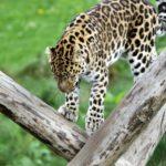 leopard safari masai mara