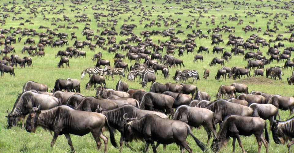 The great wildebeest migration safari in masai mara which happens every year between July and October
