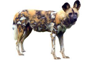 wild dog kenya safari